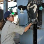 A technician assesses a beef steer for Bovine Respiratory Disease, often caused by stress.