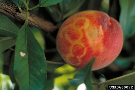 Virus and Virus-Like Diseases of Fruit Trees, Small Fruits, and Grapevines