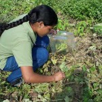 A graduate student working with a WERA-060 scientist samples plants for pesticide-resistant gummy stem blight. Photo courtesy of Katherine Stevenson, University of Georgia.
