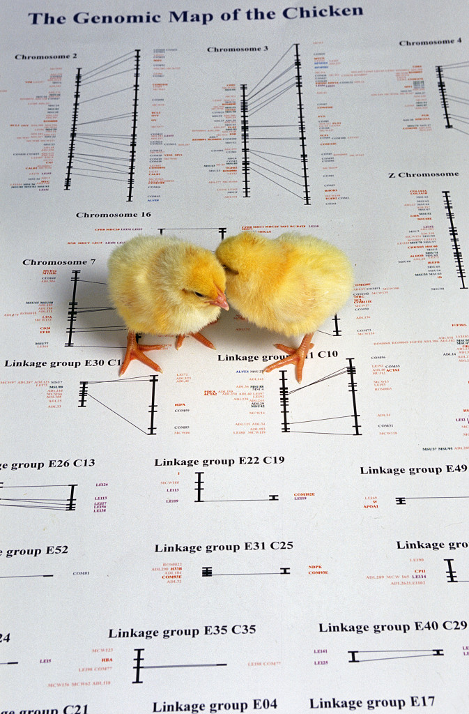 Similarly, the genomic map of the chicken has laid the foundation for poultry biotechnology (Photo: USDA-ARS).