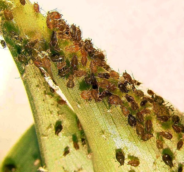 Biological Control of Pests in Plant Systems