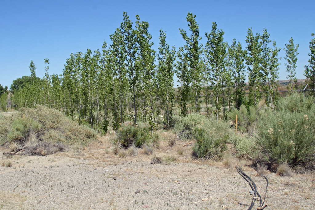 NMSU researchers determined that hybrid poplar trees are well-adapted to MI in the Four Corners region. These trees are being planted to remediate an abandoned oil refinery site. Photo by Mick O'Neill/NMSU.