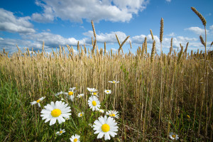 Mayweed chamomile, a common weed in the western US, often grows in winter wheat fields. Photo by Andreas Krappweis. RGBStock.com License.