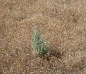 Invasive weeds, like the gold-colored cheatgrass shown above, are often more difficult to control when rangelands are fragmented. If they are not managed effectively, these weeds can choke out native plants, like the sagebrush pictured above, which provide important food and habitat in the rangeland ecosystem. (Photo by Neil Rimbey, University of Idaho.)