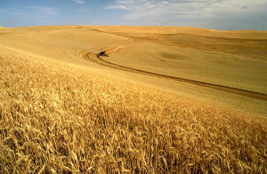 With rolling hills and deep soils, the Palouse region in the northwestern US is a major agricultural area and a leading producer of wheat. USDA-ARS photo.